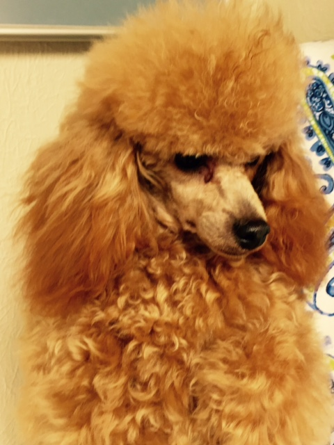 Puppies at Home, Primrose Poodles