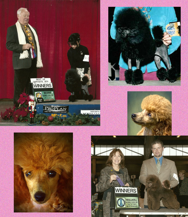 Toy Poodles, Primrose Poodles