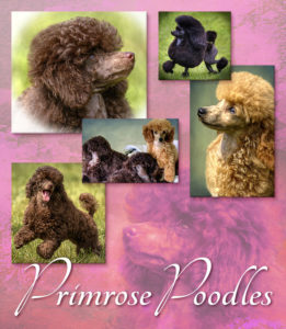 Primrose Poodles collage