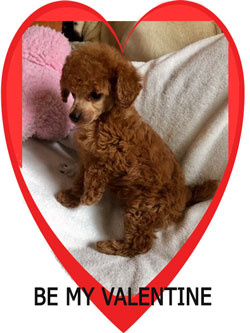 Primrose Poodles Valentine