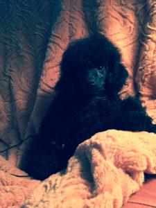 Primrose Poodles Black Male Boy