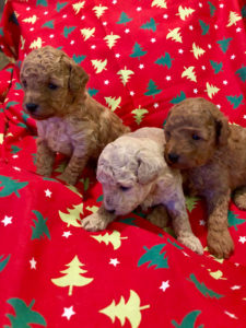 Primrose Poodles Pups next stage