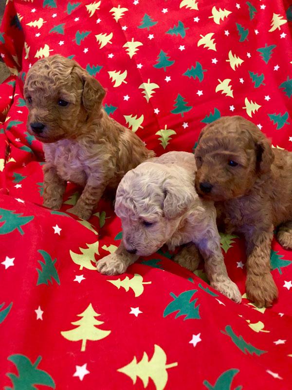 Primrose Poodles Pups next stage