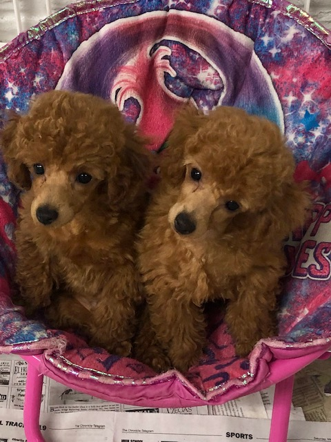 Toy Poodle Puppies Cleveland Ohio – Wow Blog