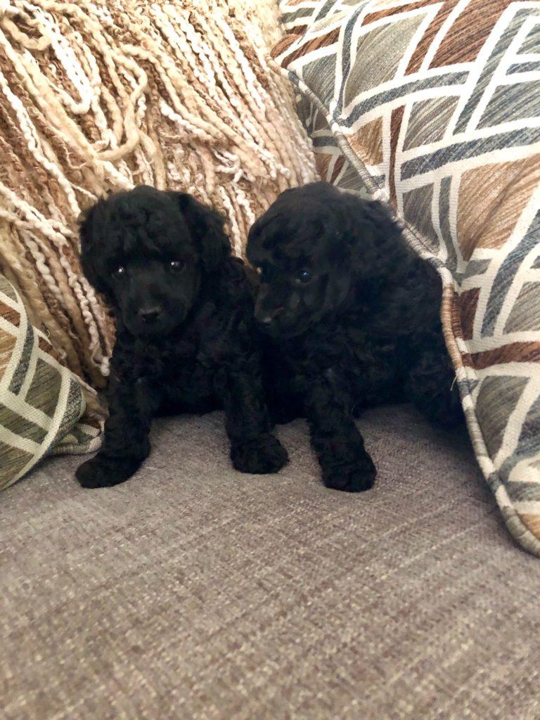 Primrose Poodles 2 black males
