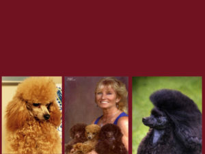 Primrose Poodles over 40 years breeding