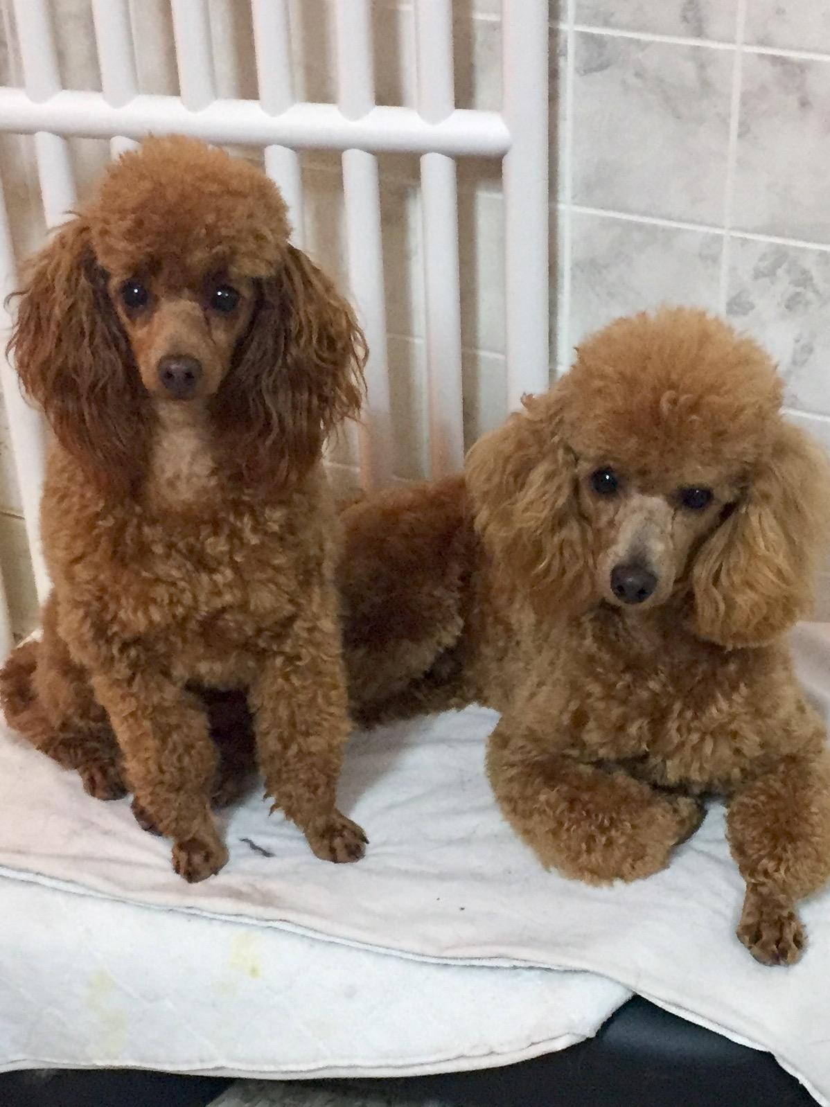 Puppies at Home, Primrose Poodles