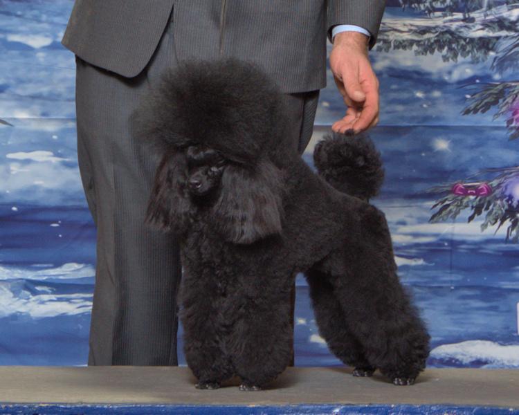 Primrose Poodles , Champion Primrose